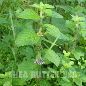 Peppermint mentha arvensis