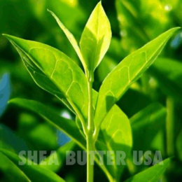 Wholesale organic tea tree oil